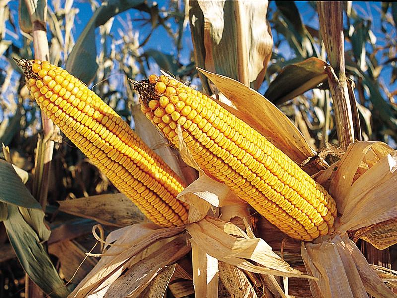 Gute Maisernte verspricht Gewinne (Foto: Monsanto)